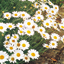 Ox-Eye Daisy Seeds