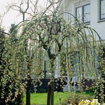 Salix Kilmarnock