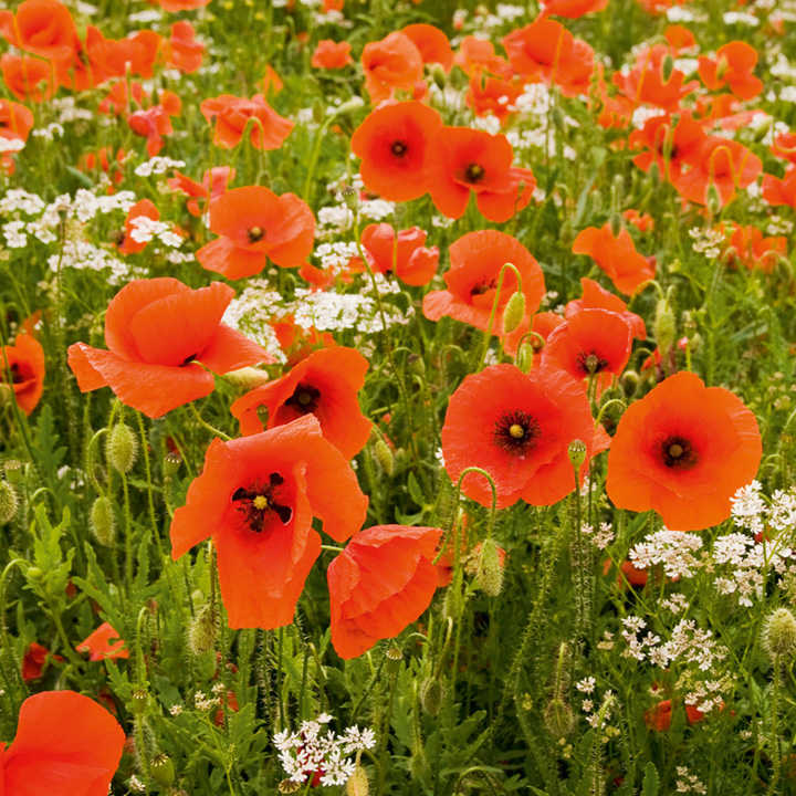 Poppy Seeds Field Poppy Rhoeas Poppy Seeds Flower Seeds