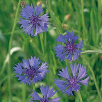 A cottage garden favourite. Drought-tolerant wildflower producing bright blue flowers that are loved by bees and other pollinators. Height 75cm (30).