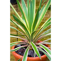 Yucca gloriosa Plant - Variegata