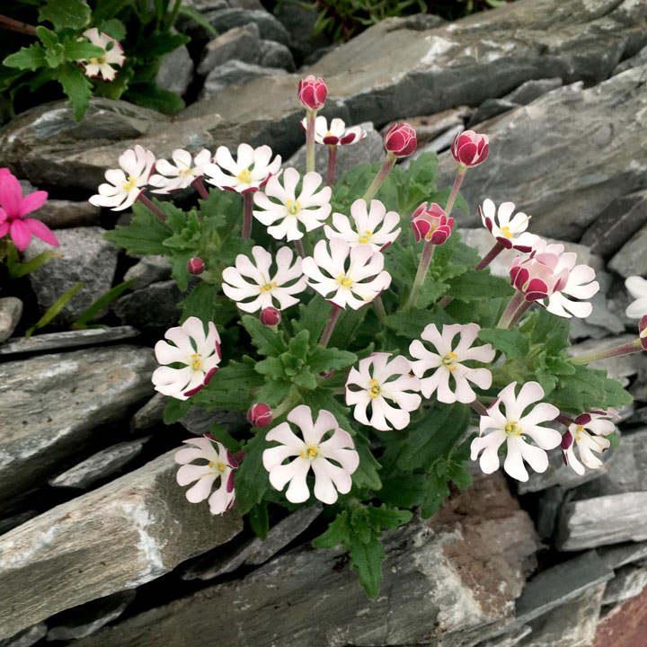 Zaluzianskya Plants - Star Balsam