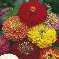Click to view product details and reviews for Zinnia Seeds Fireworks Mix.