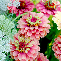 Click to view product details and reviews for Zinnia Seeds Queen Red Lime.