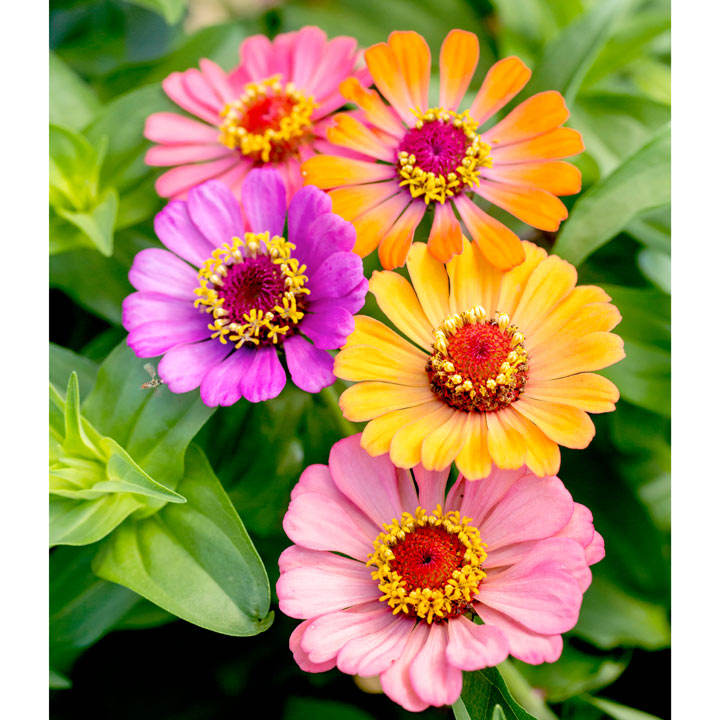 Zinnia Seeds - Molotov Mix