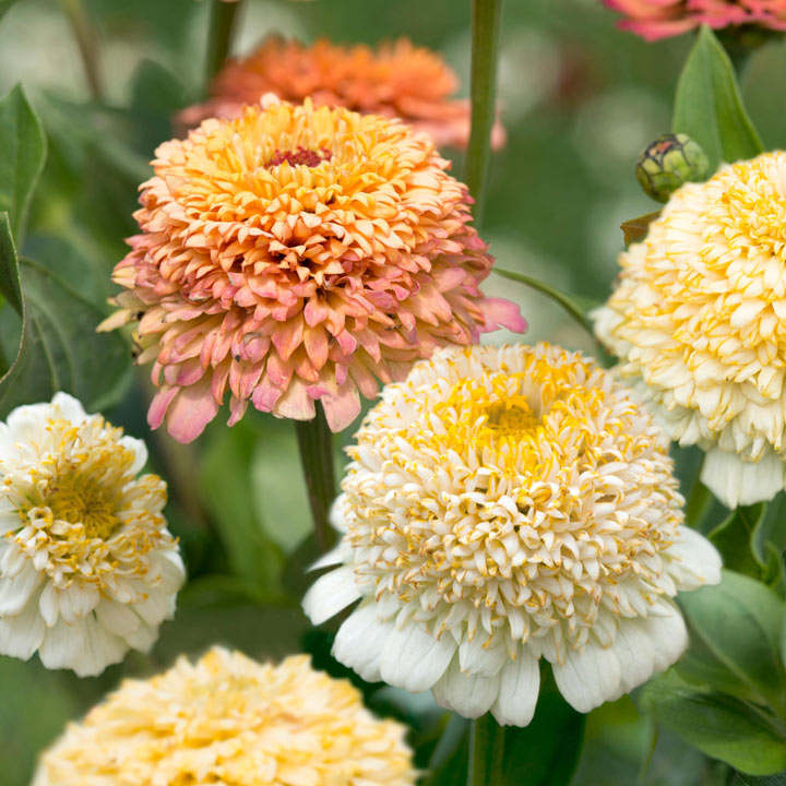 Zinnia seeds - Peaches & Cream