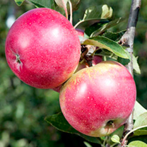 Click to view product details and reviews for Apple Tree Worcester Pearmain.