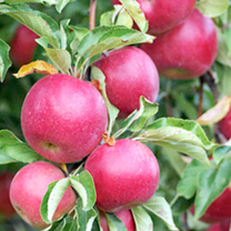 Apple Dwarf Fruit Tree - Red Sun