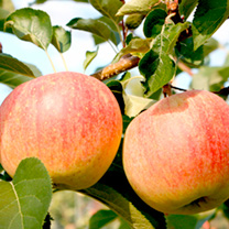 Apple Paradis® Tree - Sparkling®