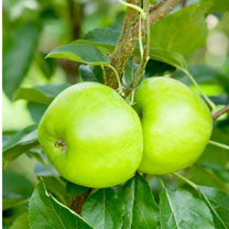 Apple (Eating) Tree - Bountiful