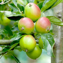 Apple (Eating) Plant - Fiesta