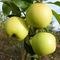 Apple Tree - Greensleeves