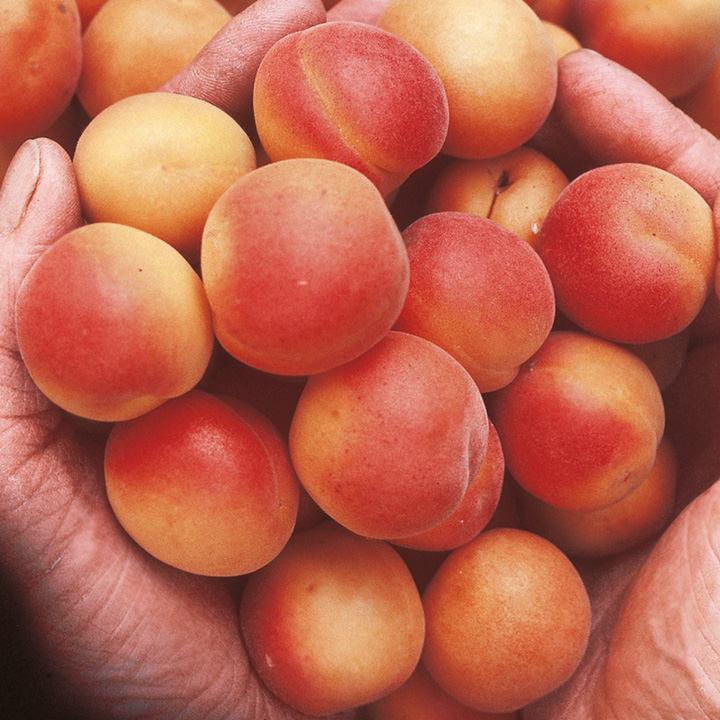 Apricot Tree - Petit Muscat