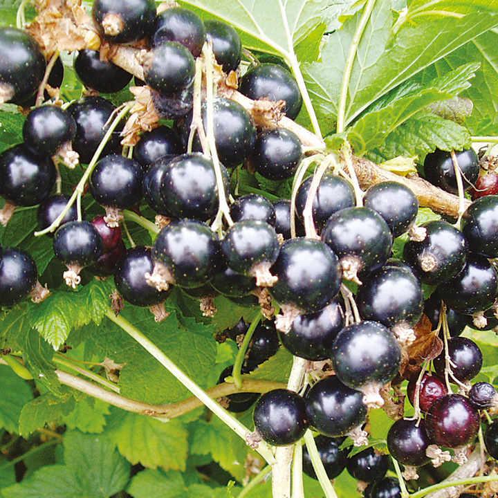 Blackcurrant Plant - Big Ben
