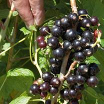 Blackcurrant Plant - Ebony