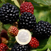 Blackberry Plant - Asterina