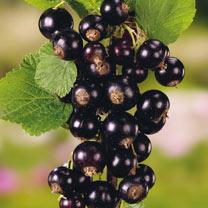 Blackcurrant Plant (Organic) - Titania