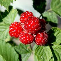 Blackberry Plant - Dorman Red