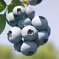 Blueberry Plant (Organic) - Brigitta Blue
