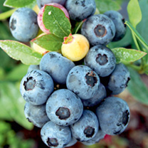 Blueberry Plant (Organic) - Sunshine Blue
