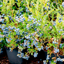 Blueberry Plant - Bluesbrothers