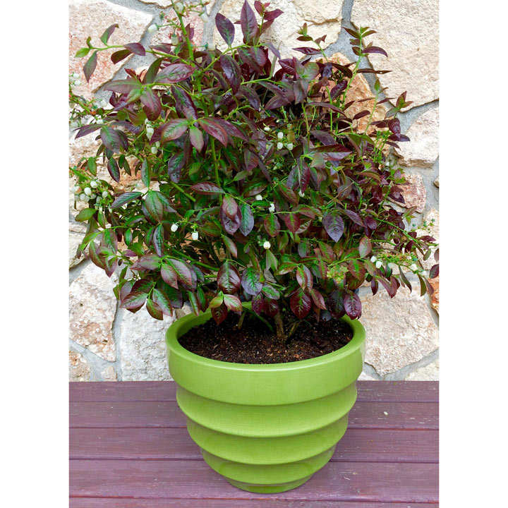 Blueberry Plants - Cabernet Splash with Wine