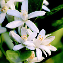 Calamondin Citrus Plant