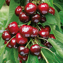 Cherry Dwarf Fruit Tree - Stella
