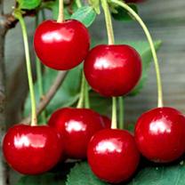 Cherry Tree - Crown Morello