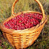 Cranberry Plant - Stevens