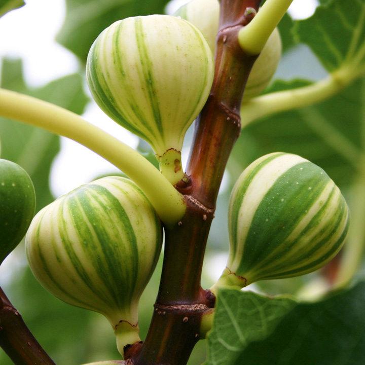 Fig Plant - Panachee