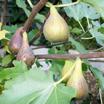 Fig Plant (Organic) - Peretto