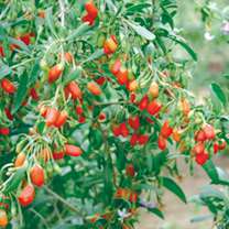 Click to view product details and reviews for Goji Berries Seeds.