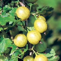 Gooseberry Plant (Organic) - Lady Sun