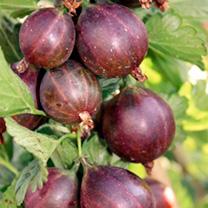 Gooseberry Plant (Organic) - Lady Late