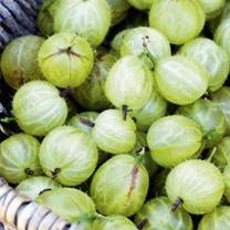 Gooseberry Plant - Hinnonmaki Green