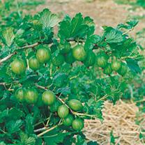 Gooseberry Plant - Invicta