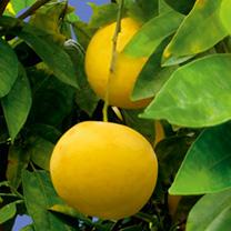 Citrus Plant - Grapefruit