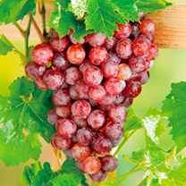 One of the most popular varieties of grape that tastes even better just picked from the vine. Suitable for outdoor and greenhouse/conservatory growing