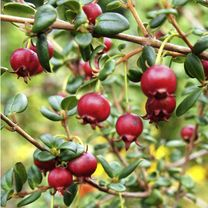 Chilean Guava Plant - 'KA-POW' - View All Soft Fruit - Soft
