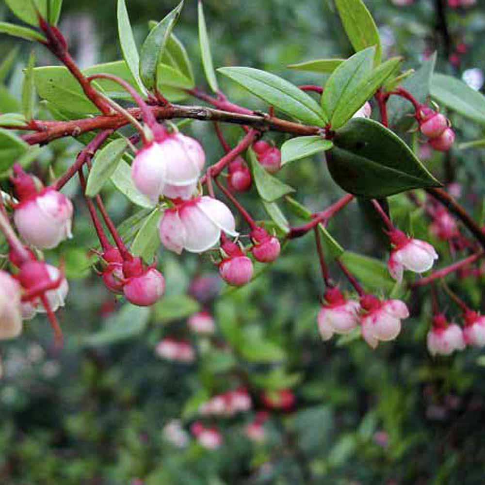 Chilean Guava Plant - 'KA-POW' at Suttons Seeds