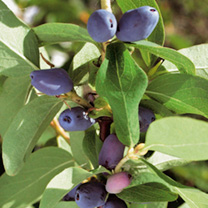 Honeyberry Lonicera Caerulea Plants - Twin Pack