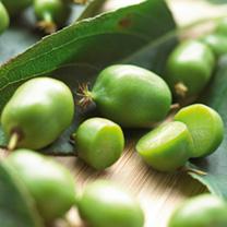 Kiwi Plant - Issai