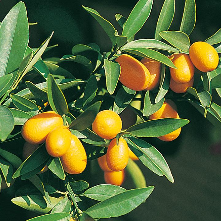 Citrus Tree - Kumquat