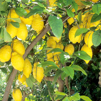 Citrus Tree Lemon Eureka