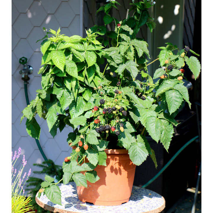 Lowberry Blackberry Plant - Little Black Prince