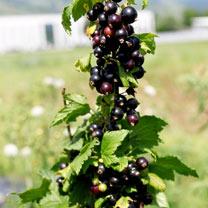 Lowberry Blackcurrant Plant - Little Black Sugar