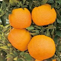 Citrus Plant - Mandarin