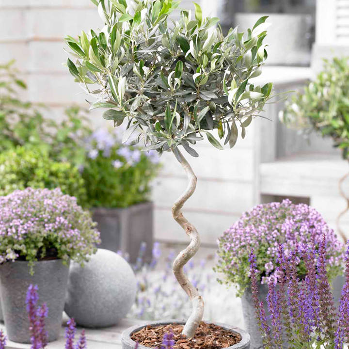 Olive Tree - Twisted Stem Large 21cm 80cm