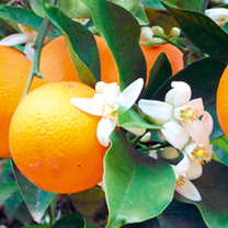 Citrus Plant - Orange
